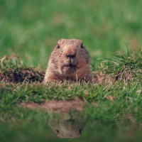 Groundhog Pic Square